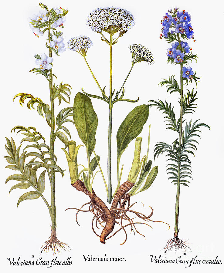 botanical print of valerian